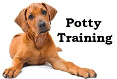 Rhodesian Ridgeback Puppies. How To Potty Train A Rhodesian Ridgeback Puppy. Rhodesian Ridgeback  House Training Tips. Housebreaking Rhodesian Ridgeback Puppies Fast & Easy. Share this Pin with anyone needing to potty train a Rhodesian Ridgeback Puppy. Click on this link to watch our FREE world-famous video at ModernPuppies.com
