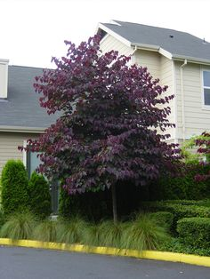 Cercis canadensis 'Forest Pansy' to central steel planters- Flowering in early spring.