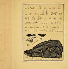 Historiæ Piscium Naturalis. Iacobi Theodori Klein,1740-49.