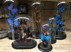 Butterflies under antique cloches