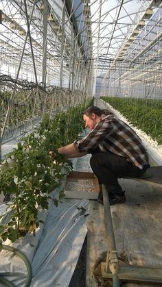 Tomaatintaimien tuentaa hymyssä suin