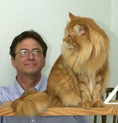 This Maine Coon cat looks like he is about to take a swat at this guy.