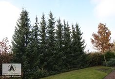 Picea omorika - Świerk serbski