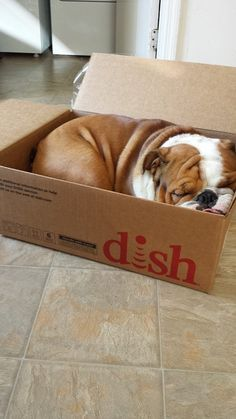 Bulldogs sleep anywhere!