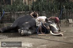 prior to the perahera - tuskers busy washing and cleaning the elephants at the backyard of the Kandy temple