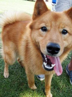 I finally got to see a Finnish Spitz (two no less)!
