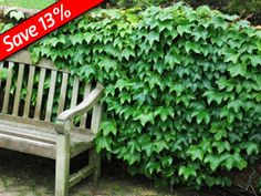 Boston Ivy is a fast growing vine for walls, fences and more!