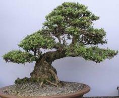Best Of Bonsai Tree Chicago