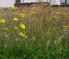 Green Roof Perennial Mix - meadow effect