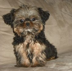 Shorkie puppy :)) like Sheldon as a child