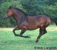 Cleveland Bay Horse Breed Profile