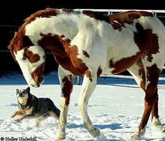 Paint horse with dog in snow