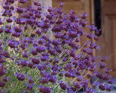 Salvia Celestial Blu