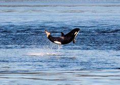 weeeeeee! lil orca.
