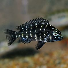 Why Set Up a Fish Tank? You've been to the pet store and noticed the fish tanks and thought maybe I could do that. Cichlid Aquarium, Aquarium Cichlidés, Cichlid Fish, Tropical Fish Aquarium, Saltwater Aquarium, Fish Aquariums, Saltwater Tank, Tropical Freshwater Fish, Freshwater Aquarium Fish
