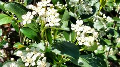 Iroquois beauty black chokeberry Compact, berries for birds, sweet white flowers, great fall color.