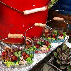 . 早く根付いて〜✩︎⡱ #minivani #多肉 #多肉植物 #リメイク #寄せ植え #succulents #succulove #garden #plants #remake #junk #kawaii