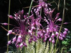 Allium Carinatum Pulchellum x10 seeds, Rare Unusual F0016 Allium, Garden Beds, Perennials, Seeds, Bulb, Purple, Plants, Camden, Onions