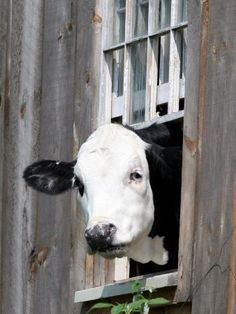 A Cow Peers out of a Barn Window in Sutton, N.H