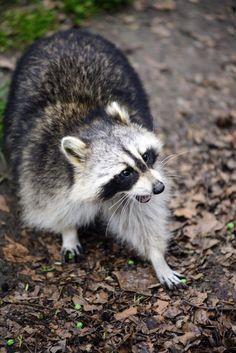 Raccoon | Herman Pijpers