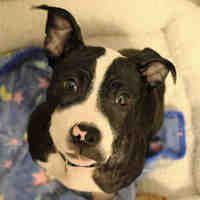 Fort Wayne, Indiana - American Pit Bull Terrier. Meet PEACH, a for adoption. https://www.adoptapet.com/pet/21315601-fort-wayne-indiana-american-pit-bull-terrier-mix