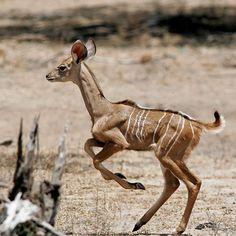 babies of beautiful endangered animals greater_kudu Kudu endangered animal facts kudu habitat kudu species bongo eland nyala bushbuck and sitatunga beautiful amazing animal picture.jpg (800×800)