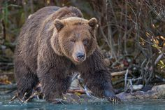 The Boss:   A Large Coastal Brown Bear coming out of the trees to get some fresh salmon in Crescent Lake,  at Lake Clark National Park, Alaska  Join me for Epic Wildlife Adventures  http://EpicWildlifeAdventures.com