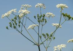 Cow Parsley - such a delicate spring flower perfect for furnishing detail and decoration #Fishpools