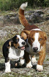 drever dog photo   drever hound dog - hound dog breeds from the online dog encyclopedia ...