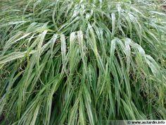 L'herbe du Japon, Herbe d'Hakone, Hakonechloa macra mi ombre ombre