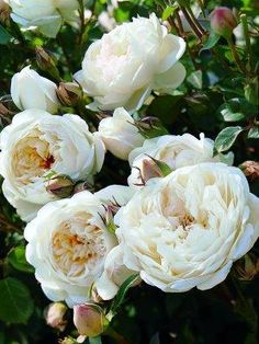 Gorgeous rose- need to put one like this in the yard-'glamis castle' roses