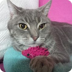 Staten Island, NY - Domestic Shorthair. Meet Savannah, a cat for adoption. http://www.adoptapet.com/pet/12441754-staten-island-new-york-cat