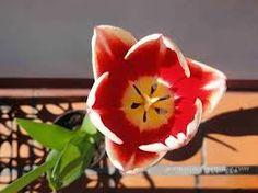 variedad de tulipanes - Buscar con Google