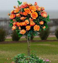 Róża Na Pniu Pomarańczowa gatunek I art. nr 537 (7290718239) - Allegro.pl - Więcej niż aukcje.