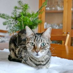 Freundlich, Cats, Animals, Tiny Gifts, Gatos, Animales, Kitty Cats, Animaux, Cat
