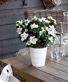 #azalee #blanc #artificielle  www.bakker.fr