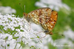 Lesser Marbled Fritillary by Marek Mierzejewski www.butterfly-photos.org on 500px