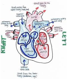 Image result for a labeled heart diagram | documents ...