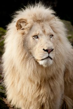 Lion for South Africa! Lion Pictures, Animal Pictures, Daily Pictures, Cute Baby Animals, Animals And Pets, Wild Animals, Beautiful Cats, Animals Beautiful, Gato Grande