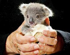Este pequeno coala pode até parecer bonitinho, mas a história dele é de quebrar o coração. Ele foi encontrado chorando dentro da bolsa corporal da mãe, atropelada e morta por um carro em uma estrada australiana. Ele foi levado para um hospital e está se recuperando dos ferimentos.