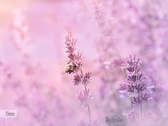 Lavender 14 by Wei-San Ooi  on 500px