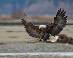 Bald eagle displays talons while landing on beach - Shetzers Photography