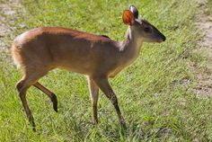 "Gray brocket deer ""Mazama gouazoupira"" Veado-catingueiro by Fábio Manfredini, via Flickr"