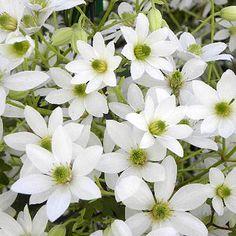 Clématite 'Michiko'® - Plantes et Jardins persistant