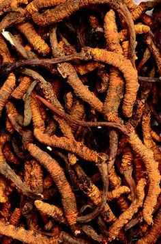 Cordyceps: Ancient Chinese Herb May Be Useful for Cancer Support
