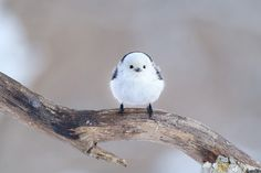 シマエナガは北海道に暮らすエナガの亜種で、真っ白な顔の小鳥です