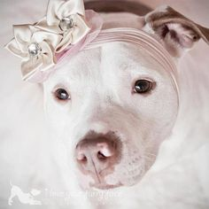 This is how we, as people who know pitbulls, see these wonderful dogs <3. #pitbull