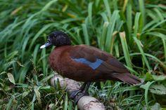 Hartlaub's Duck -equatorial West & Central Africa, fromGuinea &Sierra Leone, E. throughNigeriatoS. Sudan, & S. toGabon, Congo&Zaire