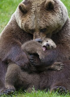 Mama's boy: The young baby bear appears to squeal with delight as its mother gives it a hu...