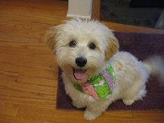 Havanese short haircut